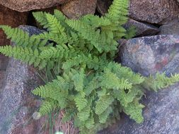 Image of <i>Woodsia <i>scopulina</i></i> scopulina