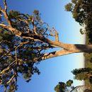 Image of <i>Eucalyptus microcarpa</i> (Maiden) Maiden