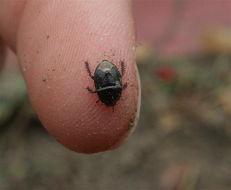 Image of Burrower bug