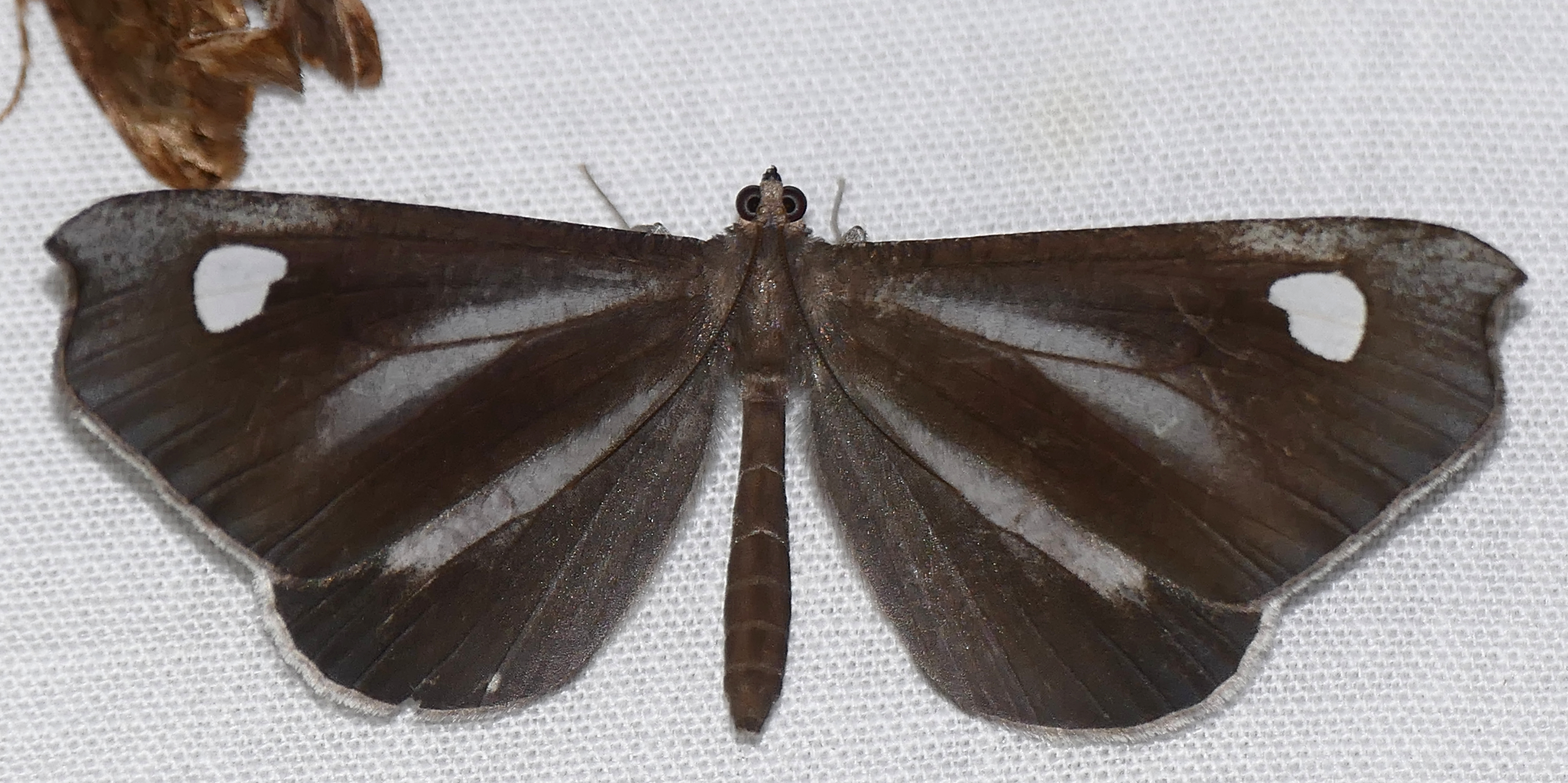 Image of <i>Macrosoma lucivittata</i> Walker 1863