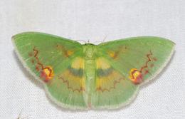 Image of <i>Rhodochlora brunneipalpis</i> Warren 1894