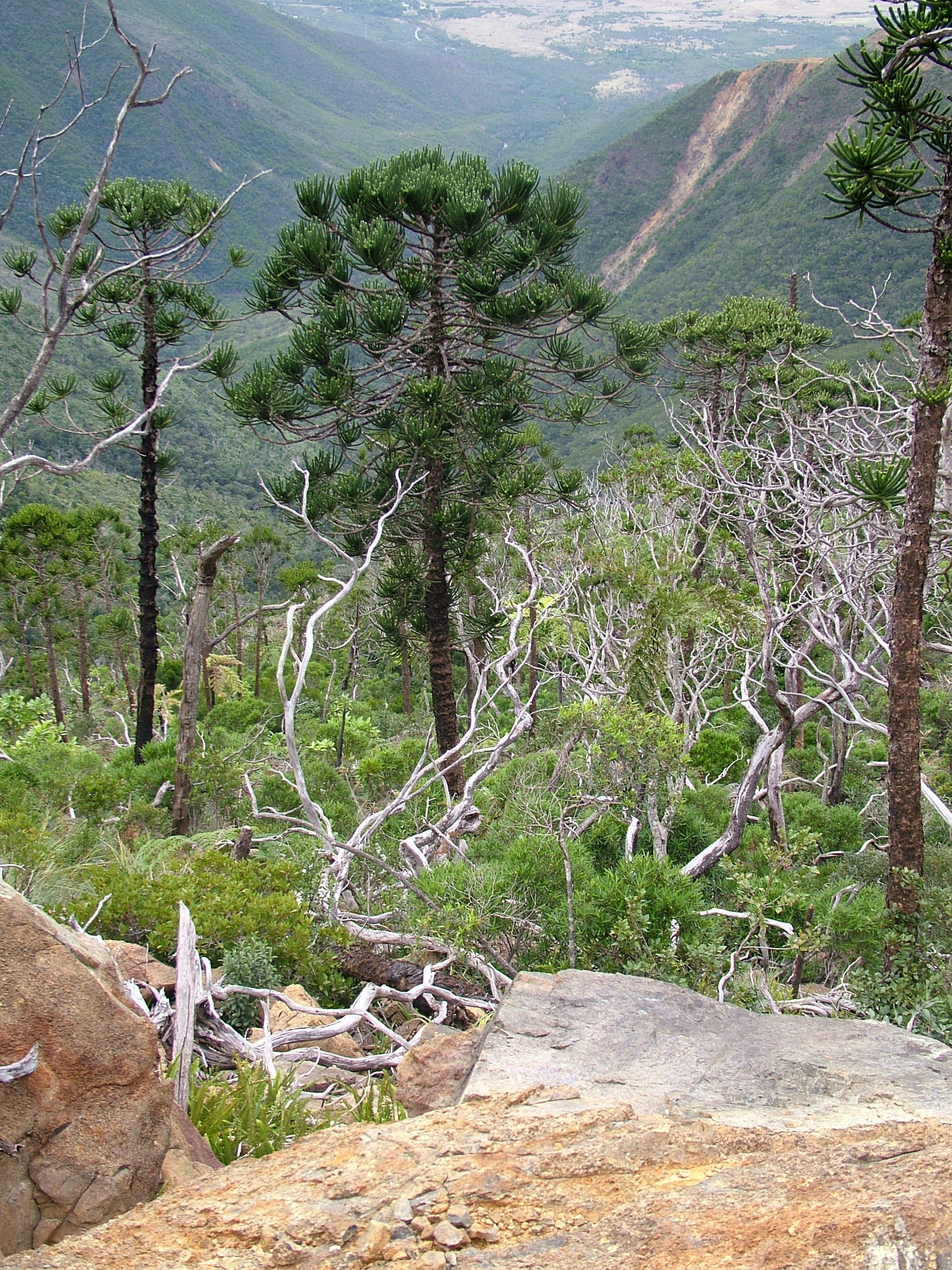 Image of summit araucaria