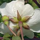 Image of <i>Rosa arvensis</i> Hudson