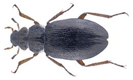Image of <i><i>Ochthebius</i></i> (Ochthebius) <i>caucasicus</i> Kuwert 1887