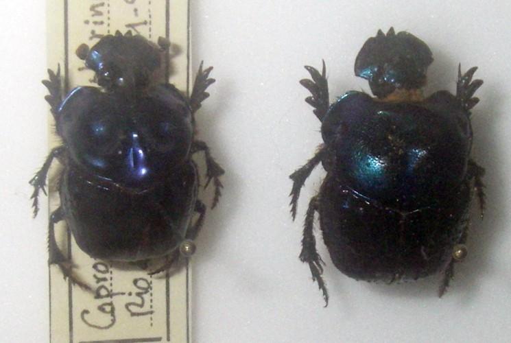 Image of <i>Coprophanaeus</i> (<i>Metallophanaeus</i>) <i>saphirinus</i> (Sturm 1826)