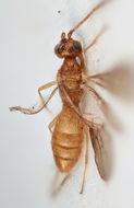 Image of <i>Adeshoides asulcatus</i> van Achterberg 1983