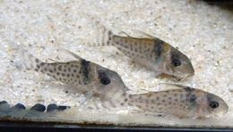 Image of South American catfish
