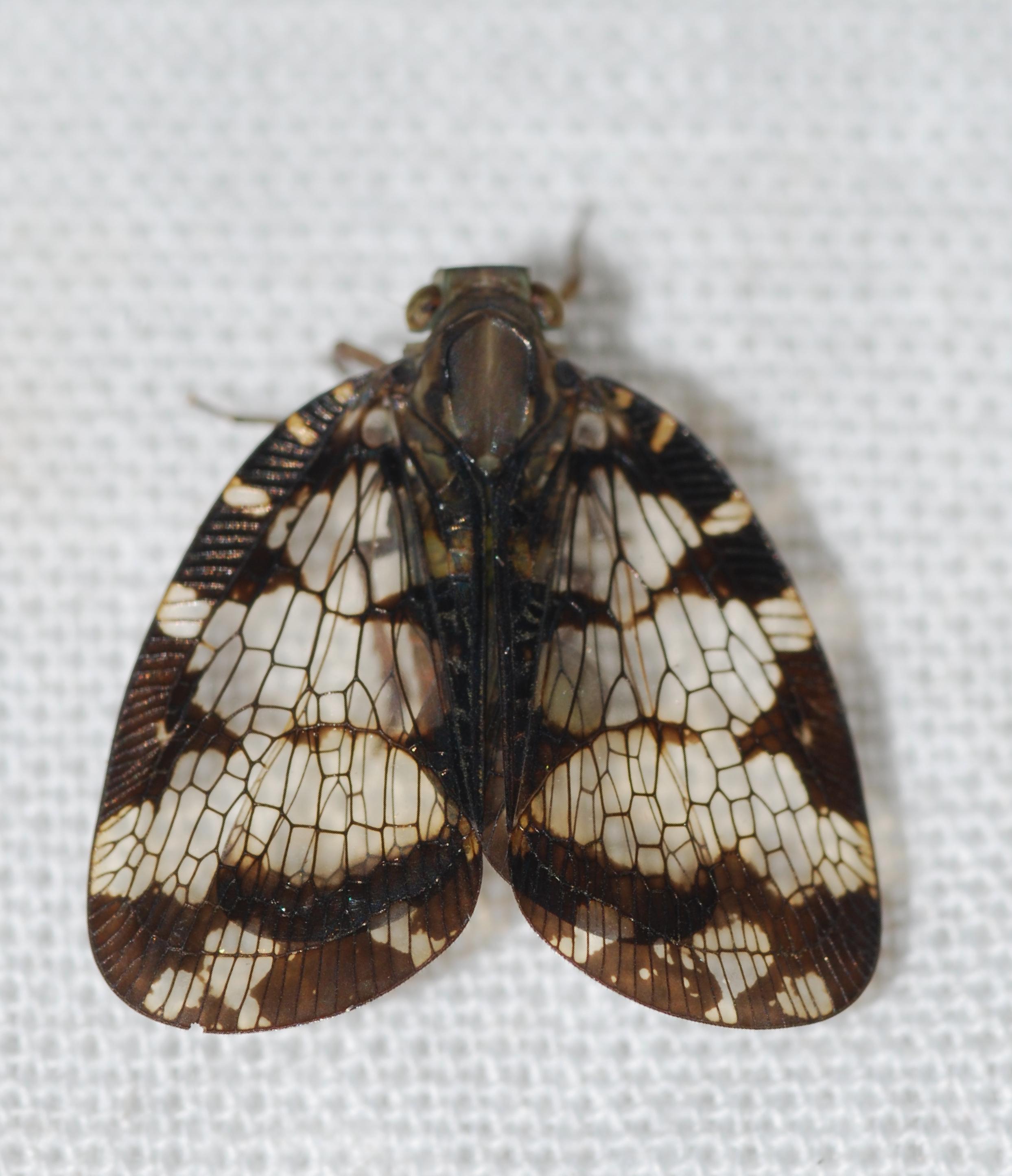 Image of <i>Nogodina reticulata</i> (Fabricius 1803)