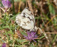 Image of Iberian Marbled White