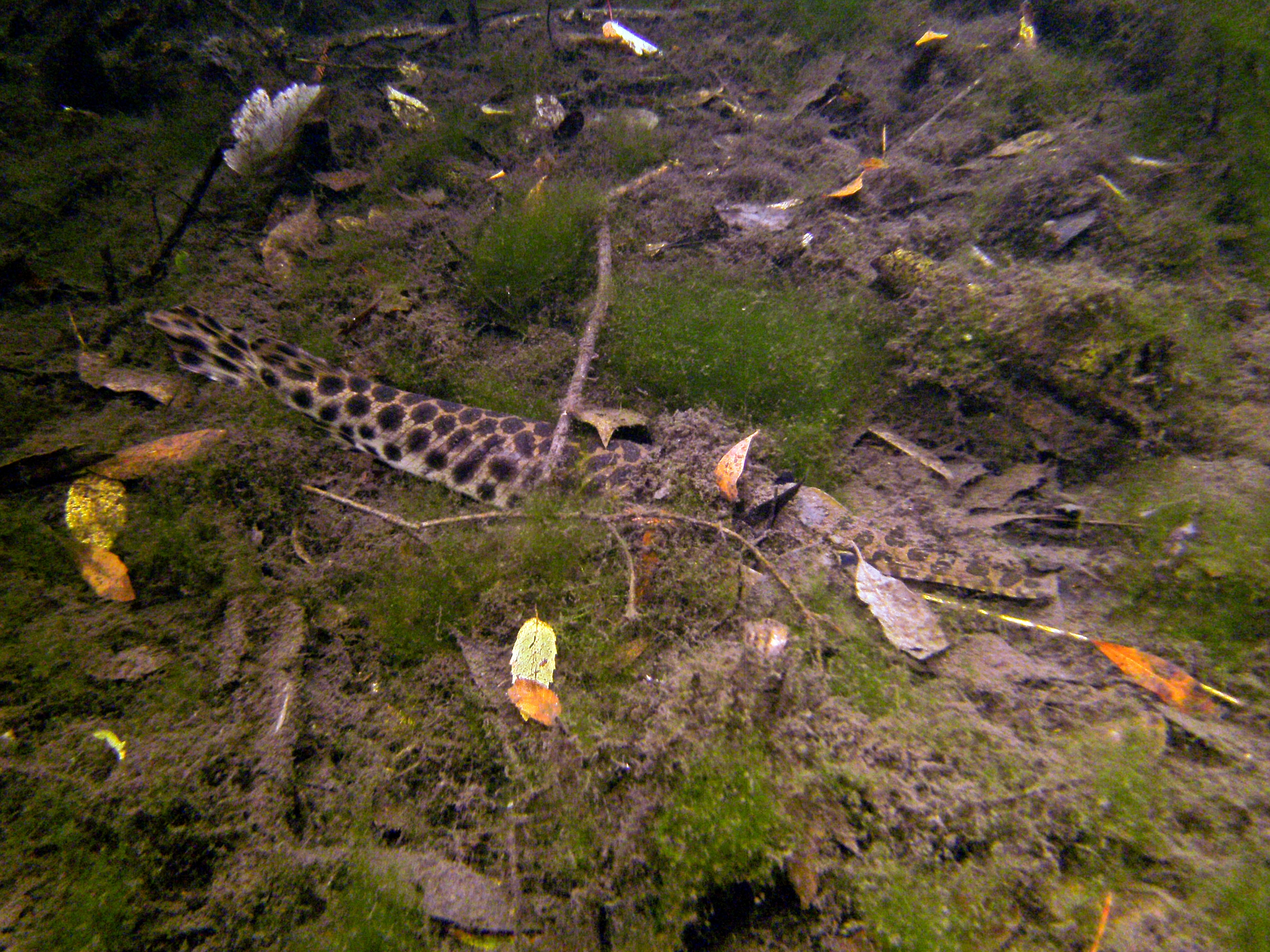 Image of Spotted gar