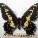 Image of <i>Euryades duponchelii</i> (Lucas 1836)
