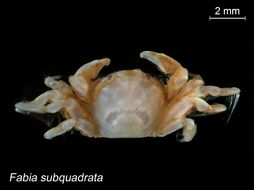 Image of grooved mussel crab