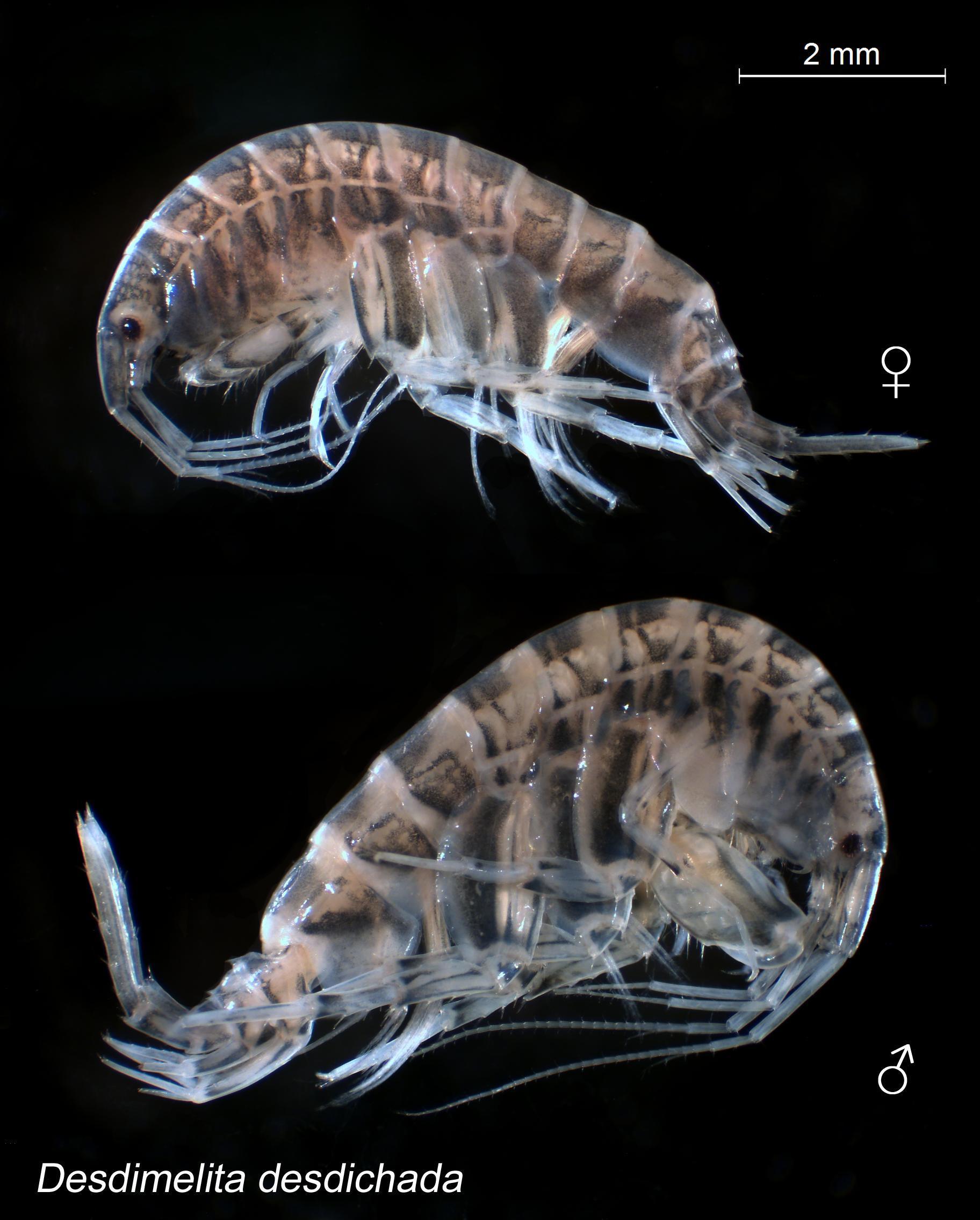 Image of <i>Desdimelita desdichada</i> (J. L. Barnard 1962)
