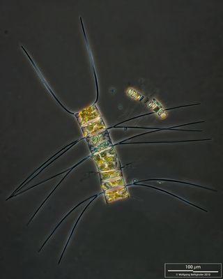 Image of <i>Chaetoceros decipiens</i>