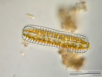 Image of <i>Surirella linearis</i>