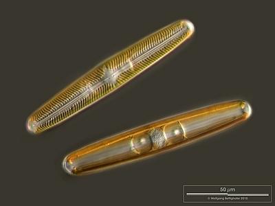 Image of <i>Pinnularia viridis</i>