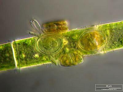 Image of <i>Cocconeis pediculus</i>
