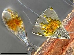Image of <i>Licmophora juergensii</i>