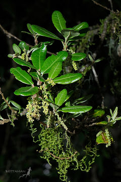 Image of <i>Quercus spinosa</i> David
