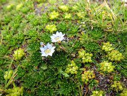 Image of <i>Gentiana sedifolia</i> Kunth