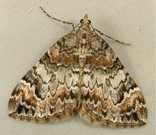 Image of 10-spotted Rhododendron Moth