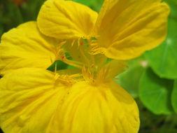Image of Garden Nasturtium