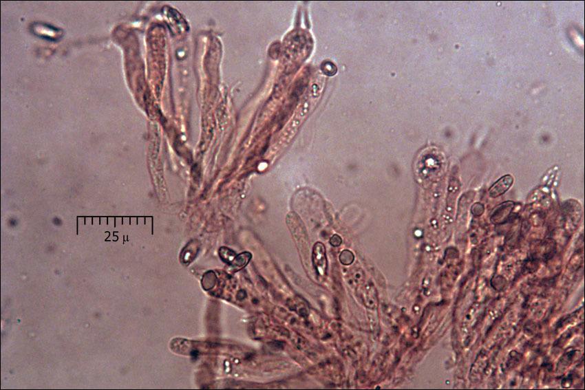 Image of <i>Ramaria longispora</i> Marr & D. E. Stuntz 1974