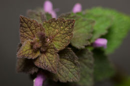 Image of purple archangel