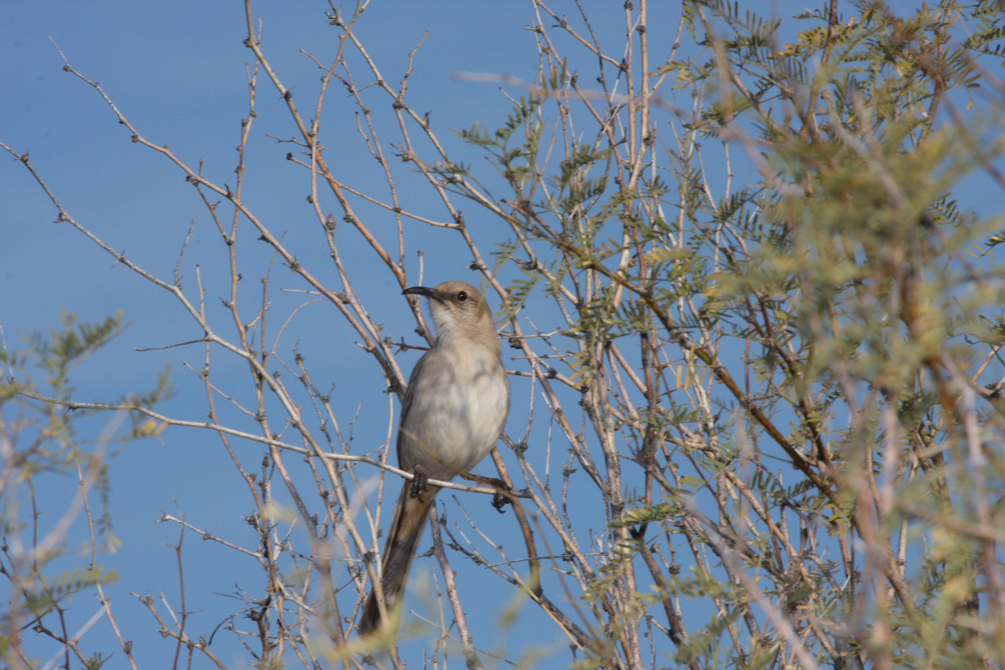 Image of Le Conte's Thrasher