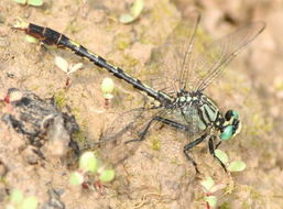 Image of Unicorn Clubtail