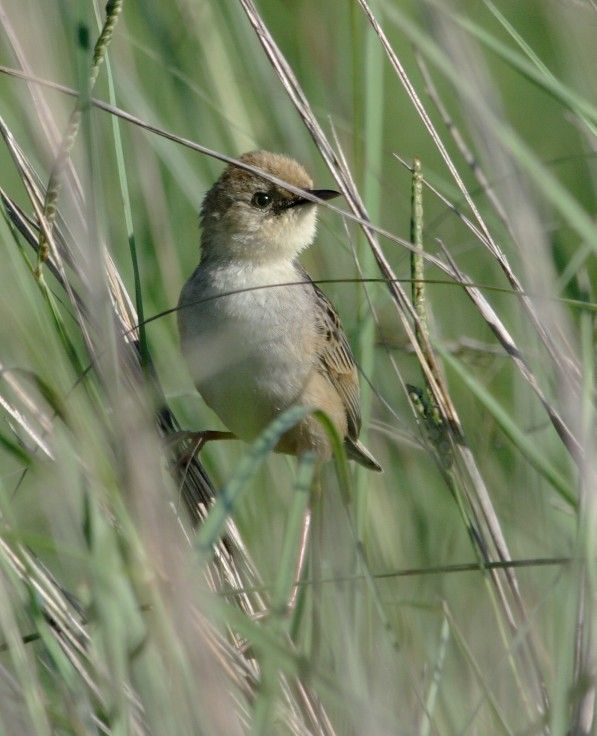 Image of Pale-crowned Cisticola