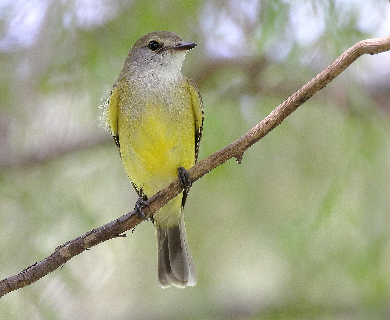 Image of Lemon-bellied Flycatcher