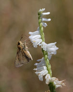 Image of spring lady's tresses