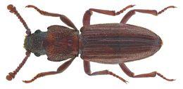 Image of <i>Bothrideres bipunctatus</i> (Gmelin 1790) Gmelin 1790