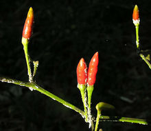 Image of cayenne pepper