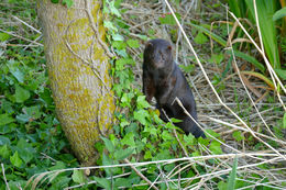Image of American Mink