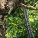 Image of Cream-colored Giant Squirrel