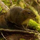 Image of Bornean Mountain Ground Squirrel