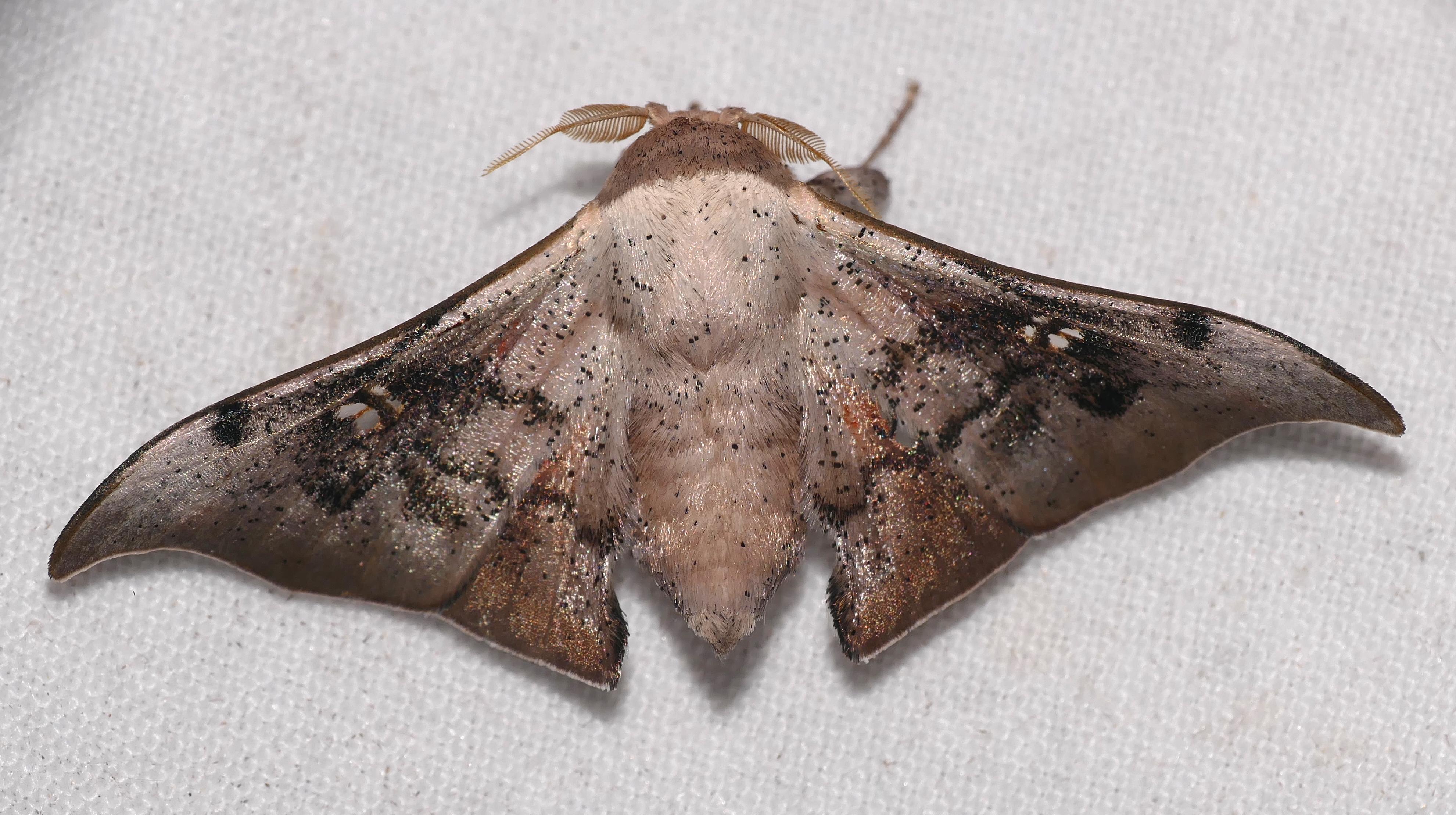 Image of <i>Psychocampa vitreata</i> Schaus 1905