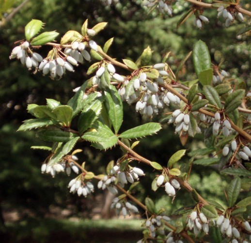 Image of Wintergreen barberry or Chinese barberry