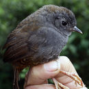 Image of Andean Tapaculo