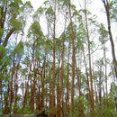 Image of Black Cypress-pine