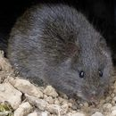 Image of Australian Swamp Rat
