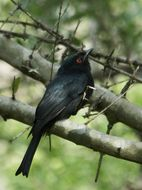 Image of Square-tailed Drongo