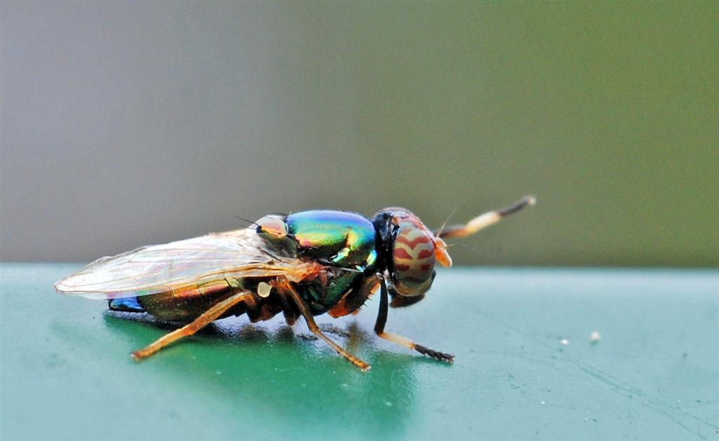 Image of Picture-winged fly