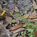 Image of bristleleaf pricklyleaf