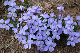 Image of birdfoot violet