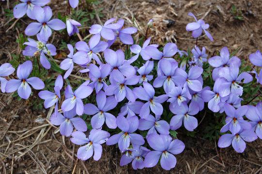 Image of birdfoot violet