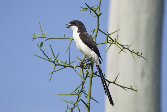 Image of Long-tailed Fiscal