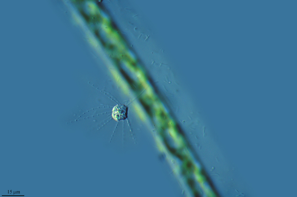 Image of <i>Actinomonas mirabilis</i>